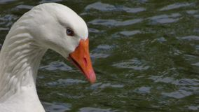 Oca con gli occhi azzurri fotografie stock libere da diritti