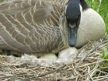 Oca con le uova Fotografia Stock Libera da Diritti