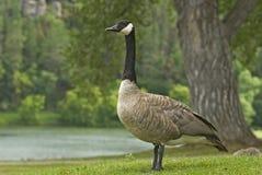 Oca del Canada Immagine Stock