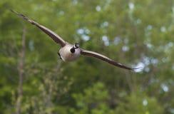 Oca del Canada Immagini Stock