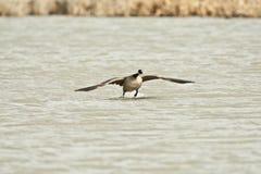 Oca del Canada Fotografie Stock
