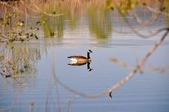 Oca del Canada Fotografie Stock Libere da Diritti