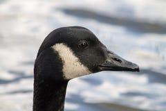 Oca del Canada Fotografia Stock Libera da Diritti
