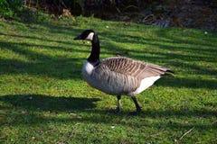 Oca del Canada, camminante sull'erba fotografia stock