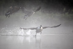Oca del Canada, canadensis del Branta fotografia stock