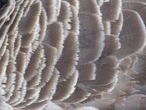 Oca del Canada, canadensis del branta fotografia stock libera da diritti