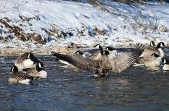 Oca del Canada che allunga le sue ali che stanno in un fiume di inverno Immagine Stock Libera da Diritti