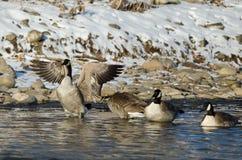 Oca del Canada che allunga le sue ali mentre stando in un fiume di inverno Fotografia Stock