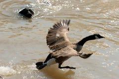 Oca del Canada che cattura volo Immagini Stock Libere da Diritti
