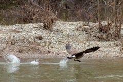 Oca del Canada che decolla da un fiume fotografia stock libera da diritti