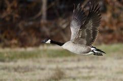 Oca del Canada che prende al volo da Autumn Field Fotografia Stock Libera da Diritti