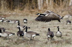 Oca del Canada che prende al volo da Autumn Field Immagine Stock Libera da Diritti