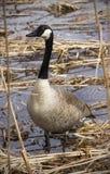 Oca del Canada che sta in una palude in Nuova Inghilterra Fotografia Stock Libera da Diritti