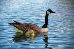 Oca del Canada con Gosling su acqua blu immagini stock