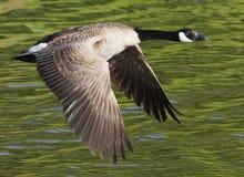 Oca del Canada durante il volo fotografie stock libere da diritti