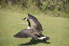 Oca del Canada in fuga (Branta Canadensis) Fotografie Stock Libere da Diritti