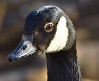 Oca del Canada nella riserva faunistica di Nottingham, Inghilterra fotografie stock