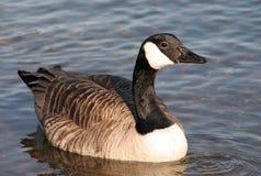 Oca del Canada sul lago fotografia stock libera da diritti