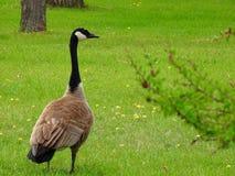 Oca del Canada - un'oca nordamericana sostenuta da Brown e luminosa-breasted fotografie stock libere da diritti