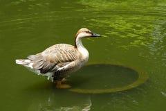 Oca del cigno Fotografia Stock