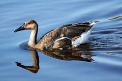 Oca del cigno su acqua Immagini Stock Libere da Diritti