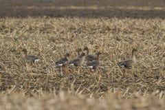 Oca del fagiolo su un campo di grano Fotografia Stock Libera da Diritti