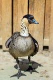 Oca dell'anatra dell'uccello Fotografia Stock