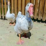 Oca dell'anatra dell'uccello Fotografie Stock Libere da Diritti