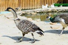 Oca dell'anatra dell'uccello Fotografia Stock Libera da Diritti