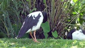 Oca della gazza o uccello in bianco e nero di semipalmata di Anseranas su erba verde stock footage