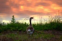 Oca della riva di tramonto del lago Immagine Stock