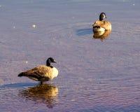 Oca di due Canada sull'acqua Fotografia Stock Libera da Diritti