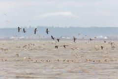 Oca di migrazione Brant fotografia stock