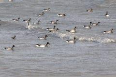 Oca di migrazione Brant immagine stock