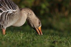 Oca di oca selvatica Fotografie Stock