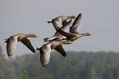 Oca di oca selvatica, anser del Anser fotografia stock