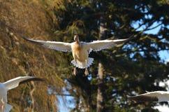 Oca di volo Fotografia Stock
