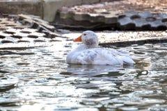 Oca domestica, anser del Anser dell'oca selvatica fotografie stock libere da diritti
