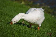 Oca domestica che pasce sull'erba fresca Immagini Stock Libere da Diritti