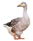 Oca domestica, domesticus del anser del Anser, isolato su fondo bianco Fotografia Stock