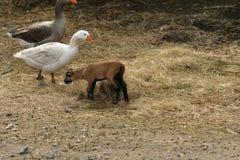 oca e belato-agnello dell'animale da allevamento che mangiano sul campo dell'azienda agricola Immagine Stock