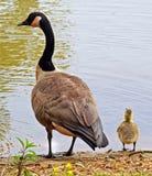 Oca e Gosling canadesi Fotografia Stock