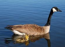 Oca e Gosling del Canada Fotografie Stock Libere da Diritti