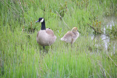 Oca e Gosling del Canada Fotografia Stock