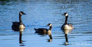 Oca e Gosling del Canada sullo stagno blu Fotografie Stock Libere da Diritti