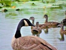 Oca e papere di mamma Fotografia Stock Libera da Diritti