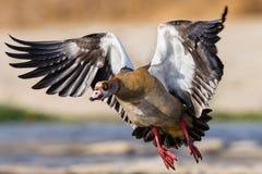 Oca egiziana Fotografia Stock