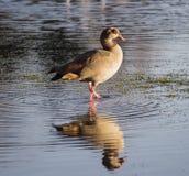 Oca egiziana che guada nel fiume Fotografie Stock Libere da Diritti