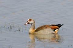 Oca egiziana in diga nel parco nazionale di Kruger fotografia stock libera da diritti