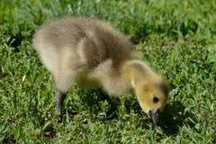 Oca Gosling del Canada Fotografia Stock